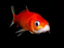 Aquarium fish from Asia. Goldfish Royalty Free Stock Photo