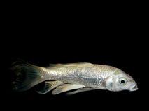 Aquarium fish from Asia. Goldfish Stock Photo