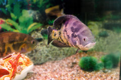 Aquarium fish Astronotus Royalty Free Stock Photography
