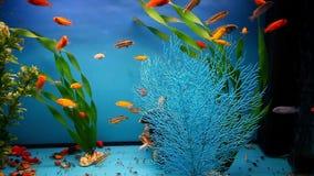 Aquarium fish background blue calm swim grass stock footage
