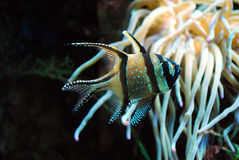 Aquarium Fish: Banggai Cardinal Royalty Free Stock Image