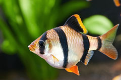 Aquarium fish. Barbus puntius tetrazona Royalty Free Stock Images