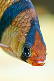 Aquarium fish. Barbus puntius tetrazona Royalty Free Stock Photos