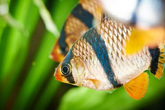 Aquarium fish. Barbus puntius tetrazona Stock Photography