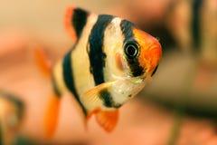 Aquarium fish Stock Images