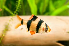 Aquarium fish - barbus royalty free stock photos