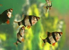 Aquarium fish - Barbus tetrazona Stock Photo
