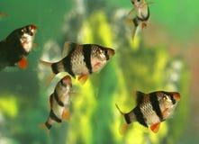 Aquarium fish - Barbus tetrazona Stock Photo