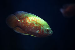 The aquarium fish. Big green eyes fish aquarium Stock Images