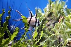 Aquarium Fish. Black and white striped aquarium fish in a clean tank with vegetation stock image