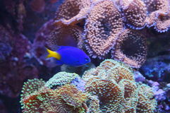 Aquarium fish blue color Royalty Free Stock Photo
