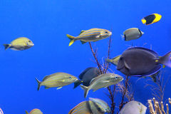 Aquarium fish on blue Royalty Free Stock Photo