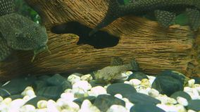 Aquarium Fish Bushymouth catfish (Ancistrus stock video footage