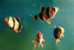 Aquarium fish Capoeta Tetrazona Stock Photo