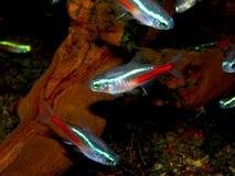 Aquarium fish from characidae family Stock Photography