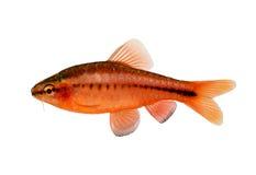 Aquarium fish cherry barb Puntius titteya freshwater Barbus titteya isolated. On white Stock Photo