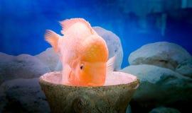 Aquarium fish cichlasoma citron. Bright aquarium fish. Pet and beautiful decor of the room Stock Images
