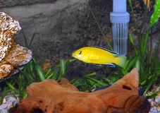 Aquarium Fish- Cichlid Hummingbird Yellow. Royalty Free Stock Images