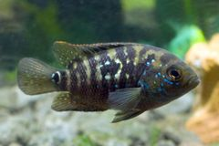 Aquarium fish Cichlidae Stock Images