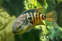 Aquarium fish Cichlidae Royalty Free Stock Image