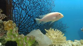 Aquarium fish on clean blue water. Aquarium fish on clean water stock footage