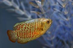 Aquarium Fish - Climbing Gourami. A brightly colored fish swimming in a tropical aquarium Stock Photo