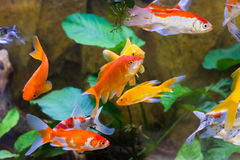 Aquarium fish close-up through the glass Royalty Free Stock Image