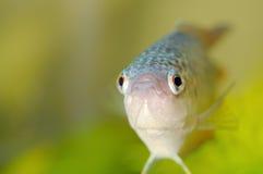 Aquarium fish, closeup. Paradise fish, or Macropodus opercularis, freshwater labyrinth fish Stock Image