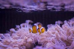 Aquarium fish Royalty Free Stock Photography