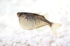 Aquarium fish Common Silver Hatchetfish Gasteropelecus sternicla Stock Photos