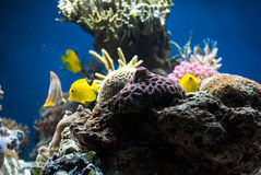 Aquarium with fish and corals Royalty Free Stock Photo