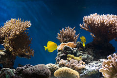 Aquarium with fish and corals Royalty Free Stock Photography