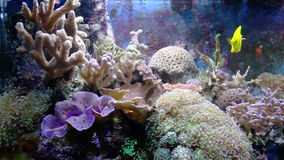 Aquarium with fish and corral. Sea aquarium with fish and corral stock video footage
