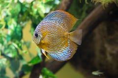 Aquarium fish discus Stock Photo