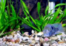 Aquarium Fish dwarf Cichlid-Apistogramma nijsseni. Royalty Free Stock Photo