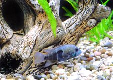 Aquarium Fish dwarf Cichlid-Apistogramma nijsseni. Stock Photo