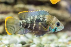 Aquarium Fish dwarf Cichlid. Apistogramma nijsseni is a species of cichlid fish, endemic to highly restricted local black water ha stock image