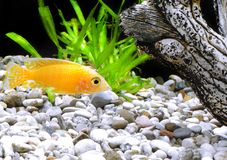 Aquarium Fish dwarf Cichlid-Aulonocara. Royalty Free Stock Image