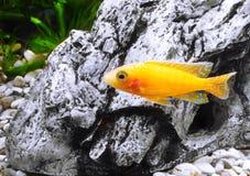 Aquarium Fish dwarf Cichlid-Aulonocara. Royalty Free Stock Photography