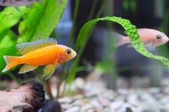 Aquarium Fish dwarf Cichlid-Aulonocara. Stock Image