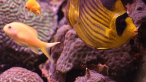 Aquarium fish. Aquarium with exotic fish. Marine life stock video footage