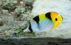 Aquarium fish. stock image