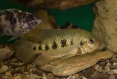 Aquarium fish family American cichlids Royalty Free Stock Photography