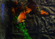 Aquarium fish float in an aquarium near stones and algae Stock Images