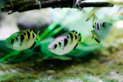 Aquarium fish. Fish floating under sticks in an aquarium scene Royalty Free Stock Images