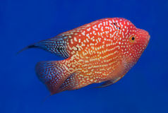 Aquarium fish, flower horn fish on blue screen Royalty Free Stock Images