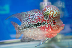 Aquarium fish, flower horn fish on blue screen Royalty Free Stock Photography