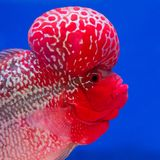Aquarium fish, flower horn fish Stock Photo