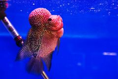 Aquarium fish, flower horn fish Royalty Free Stock Image