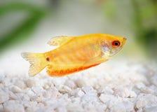 Aquarium Fish Golden gourami Trichogaster trichopterus Gold Stock Photos